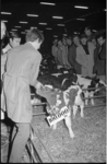 21673-3-22 Honderdduizendste nuchtere kalf op de veemarkt in 1969.