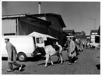 1973-1123 De koeien worden op de markt gebracht, bij de Veemarkt.