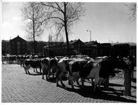 1973-1124 Veel koeien op de Veemarkt.