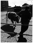 1973-1127 Een rund op sleeptouw aan de Veemarkt.
