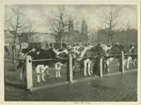 1985-830 Langs de straatkant een rij koeien opgesteld.