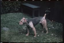173 Marouchka, de hond van de familie Boske, in de tuin van hun woning in de Van Vollenhovenstraat.