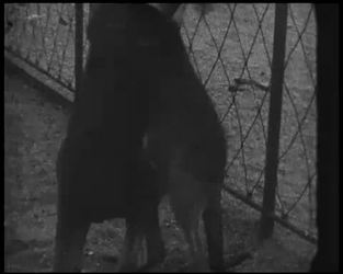 BB-7482 Bezoek aan de oude diergaarde (Diergaardesingel). Jongen met step, zeehonden en vechtende kangoeroes.