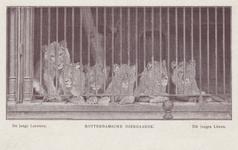 PBK-1952 Jonge leeuwen in een kooi op het terrein van de Rotterdamsche Diergaarde.