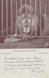PBK-1953 Een oude leeuw in een kooi op het terrein van de Rotterdamsche Diergaarde.