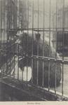 PBK-1956 Een bruine beer in een kooi op het terrein van de Rotterdamsche Diergaarde.