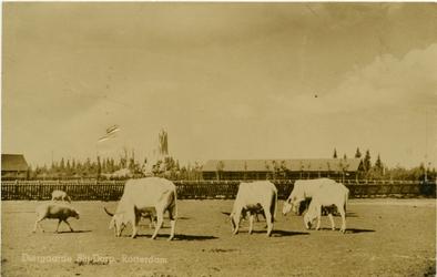 PBK-1990-42 Buffels of karbouwen op het terrein van Diergaarde Blijdorp aan de Van Aerssenlaan.