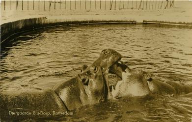 PBK-1990-43 Nijlpaarden in een bassin in Diergaarde Blijdorp aan de Van Aerssenlaan.