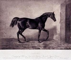 XXXIV-28-11 Paard Sahama.
