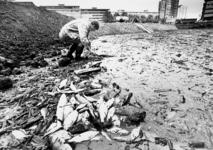 2001-1142 Nadat de gedempte Zalmhaven is drooggevallen, worden vissen zo veel mogelijk gered door vrijwilligers van de ...