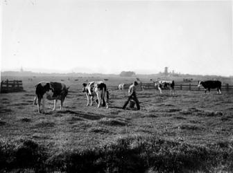 1975-1428 Landschap bij Overschie, melktijd op de weiden in de Kleinpolder bij Overschie. Links de toren van de ...