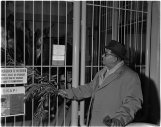 1039 Jean de Medina, okapivanger in Afrika, op bezoek bij de okapi's in Diergaarde Blijdorp.
