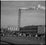 22895-3-12 De Eerste Nederlandse Coöperatieve Kunstmestfabriek (ENCK) in Vlaardingen met daarvoor grazende koeien.