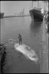23358-2-28 In de Prinses Margriethaven is een dode walvis gevonden.