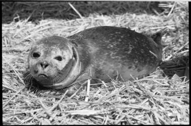 25379-6-14 Een jong zeehondje gevonden op de Maasvlakte.