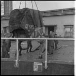 8443-2 Transport nijlpaard Tanja van Artis naar Diergaarde Blijdorp; aankomst Blijdorp.