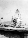 1977-3531 Gezicht op opgezette leeuw en flamingo op het dak van een puinruimerskeet aan de Boijmansstraat, als gevolg ...