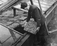1977-3839 In verband met de tabakschaarste worden in de gemeentekassen tabaksplanten geteeld.