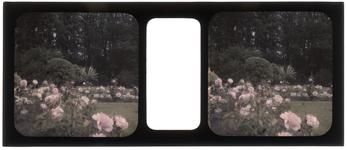 26-3-34 Stereofoto, autochroom, van een rozenperk in, waarschijnlijk, het Park de Heuvel.