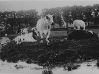 IX-2167-01 Noordschans met op de achtergrond rechts het witte tolhuisje aan de Mathenesserdijk. Met koeien op de voorgrond.